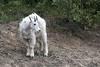 Bovidae: Oreamnos americanus - Cabra de las rocosas - Rocky Mountain Goat  (Young) (P e r i c l e s) Tags: cabra caprino mammalia artiodactyla caniformia bovidae caprinae oreamnos oreamnosamericanus rockymountaingoat mountaingoat chèvredesmontagnesrocheuses cabradelasrocosas cabrablanca rockymountains montañasrocosas canada endémicadecanadayusa otherspecies otrasespecies myfavourites 9379431