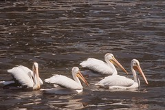 """ White Pelican Flotilla "" (Wolverine09J ~ 1 Million + Views) Tags: nature minnesota waterfowl whitepelicans welovewildlife naturallymagnificent wildlifeshots wildlifeaward holycreationsofnature flickrstruereflection1"