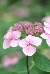 hydrangea (snowshoe hare*) Tags: flowers shrine hydrangea  hydrangeas