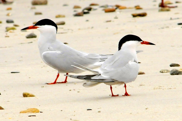 courtship terns 4