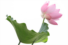 Lotus Flower - IMGC5060 (Bahman Farzad) Tags: flower macro yoga peace lotus relaxing peaceful meditation therapy lotusflower lotuspetal lotuspetals lotusflowerpetals lotusflowerpetal
