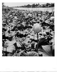Lotus (heronop) Tags: rolleiflex print thailand fb seagull 8x10 d76 400 oriental ilford canoscan 2007 2011 8800f 28d vcii