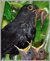 Daddy with food! (Jan Visser Renkum) Tags: turdusmerula blackbird merel commonblackbird campingdemeibeek