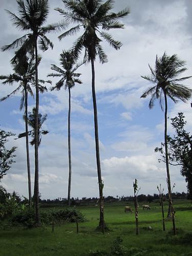 farms on Ko Treung