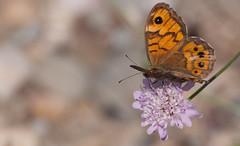 JRLD-20110617_12760 (XoseMon) Tags: insectos spain zaragoza animales mariposa aragón aragn