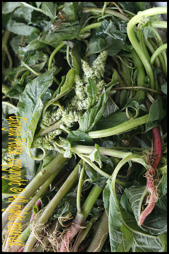 amaranto pianta