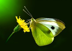 Pieris rapae in a green dress.....!!! (Ignazio Corda) Tags: colors butterfly photo stream papillon mariposa farfalla pierisrapae colorphotoaward nikond300 friendoffriends ringexcellence photobyigcor elaborazionibyigcor peregrino27macro flickrstruereflection1