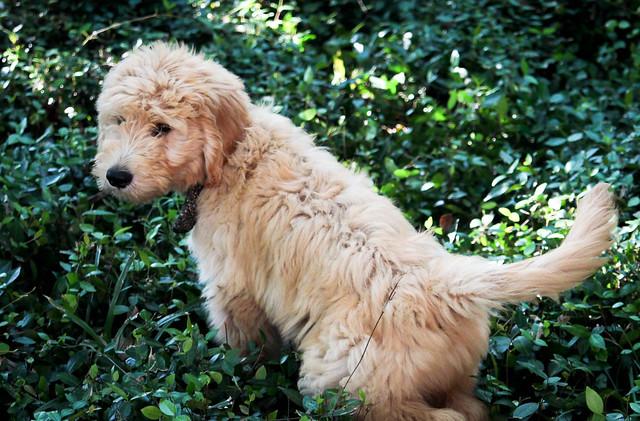 Brim- puppy