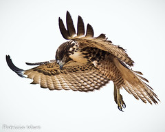 Looking down for my mouse! (Patricia Ware) Tags: california canon ngc handheld huntingtonbeach redtailedhawk buteojamaicensis bolsachica ©allrightsreserved specanimal specanimalphotooftheday avianexcellence blinkagain bestofblinkwinners ©patriciaware