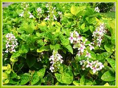 Pseuderanthemum reticulatum (Golden Pseuderanthemum/Net-bush/Eldorado, Yellow-vein Eranthemum), shrubbery used as informal hedges