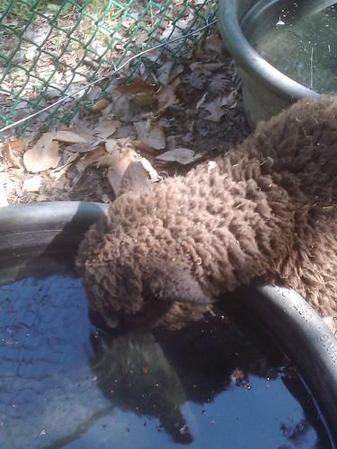 Sheepy drinking