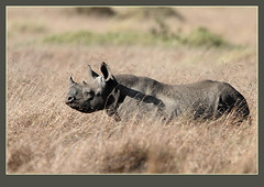 Black Rhino calf (Please view in Original) (Rainbirder) Tags: blackrhino masaimara blackrhinoceros dicerosbicornis dicerosbicornismichaeli