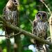 Owlets_2455.jpg