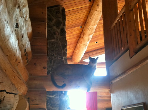 Mountain lion perched on a cross beam at Nowell's house