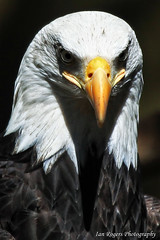 An American Portrait (* Ian Rogers *) Tags: portrait birds animal photography northwest eagle wildlife baldeagle bald eagles northwesttrek animalphotography wildlifephotography ianrogersphotography ianroegrs