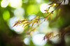 Anew (moaan) Tags: life green digital 50mm spring dof bokeh momiji japanesemaple utata april 2012 palmatum f12 wavering akashidare afresh inlife rustlings ef50mmf12lusm canoneos5dmarkiii