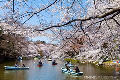 Inokashira Park / Tokyo, Japan (yameme) Tags: travel flowers nature japan canon eos tokyo  sakura cherryblossoms  mitaka    inokashirapark   musashino  24105mmlis   5dmarkii 5d2