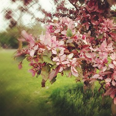 Pink (@klawrenc) Tags: guelph iphoneography 4seasons guthriepark blossoms