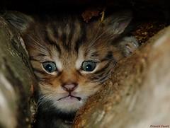 Chaton Forestier caché dans les rondins de bois dans la foret de Myon (francky25) Tags: les de la foret dans bois chaton caché doubs comté franche forestier myon rondins