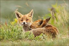 Quality time (hvhe1) Tags: baby holland animal cub bravo wildlife dune young nederland thenetherlands naturereserve fox netherland kit pup awd vixen vos duin vulpesvulpes renard natuurreservaat amsterdamsewaterleidingduinen specanimal hvhe1 hennievanheerden specanimalphotooftheday