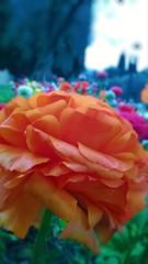 Orange flower (auroferra) Tags: garda
