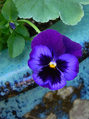Pansy on Ceramic Pot (stephaniepc) Tags: kentucky landbetweenthelakes grandrivers pattyssettlement pansyonceramicpot