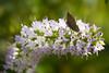 Small brown moth on pink Koromiko Flower (debshilton) Tags: newzealand flower green native moth brownmoth koromiko nativenewzealand koromikoflower