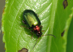 Willow Flea Beetle - Crepidodera aurata (erdragonfly) Tags: broomfleet 28042014 willowfleabeetle crepidoderaaurata beetles
