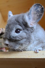 That Pretty Face (Vegan Butterfly) Tags: portrait cute face animal fur rodent furry adorable whiskers chinchilla