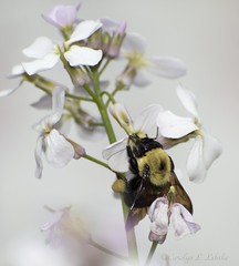 "Gettin' a little ""milk"" before buzzing off to bed. (Carolyn Lehrke) Tags: usa nature wildlife bees insects bumblebee wv honey pollen pollenator greenbriercounty"
