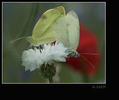 _DSC5670 (Weinstckle) Tags: insekt garten schmetterling kornblume pierisrapae paarung mohnblume kleinerkohlweisling weisling
