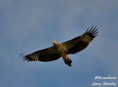 DSC_0025 (RUMTIME) Tags: bird nature birds fly flying flight feathers feather queensland seaeagle coochie coochiemudlo arealgem