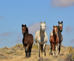 American Quartet (chad.hanson) Tags: wildlife wyoming mustangs wildhorses stewartcreekhma