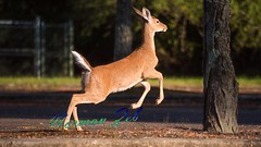I Gotta Run! (a2roland) Tags: normanzeba2rolandyahoocoma2roland deer doe sprint running jump jumping nature wildlife paws feet skin ears eyes speed action tree forest park natural habitat preservation environmental tail hair fur ground leaves branches flee escape picture pics flicker photo venison