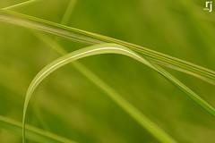 Grass Blades (RJ-Clicks) Tags: rehanjamil rjclicks nikond5100 nikon d5100 pakistaniphotographer photographerindammam photographerinkhobar pakistani