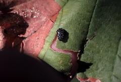 Trachys minutus - 27 IX 2016 (el.gritche) Tags: coleoptera france 40 garden buprestidae trachys minutus trachysminutus