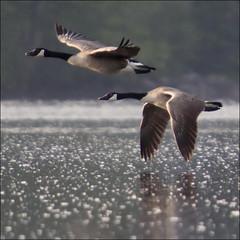 Fly United (NaPix -- (Time out)) Tags: lake canada reflection sunrise landscape geese action flight lakescape bestcapturesaoi