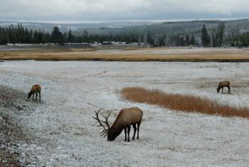 Snow and elk add drama to Yellowstone landscape