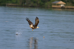 Bald Eagle (rwleslie58) Tags: wildlife baldeagle 9813 discoverthejameseagletour