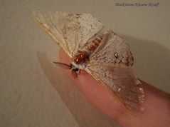 Tiny Moth (Blue Kitsune) Tags: cute insect wings hand finger moth tiny moths