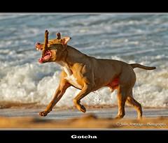 Gotcha (John_Armytage) Tags: ocean sea dog beach animal wave australia nsw catch dogplay warriewoodbeach johnarmytage wwwjohnarmytagephotographycom warriewoodnorthernbeaches
