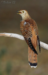 common cuckoo    -  () Tags: bird birds bin sultan common cuckoo qatar      wachers     avianexcellence    lesnafi