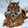 Sumatran Tiger Resting In The Snow ... (TopSausageLobber) Tags: greatphotographers allofnatureswildlifelevel1 allofnatureswildlifelevel2