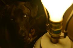 (JessieGarcia) Tags: dog lightbulb puppy husky labrador huskador
