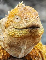 Lizzard on Galapagos - Ecuador (Ferdi's - World) Tags: camera vacation color southamerica nature animal yellow ecuador outdoor leguaan iguana iguanidae ferdisworld galápagos galápagosislands nikon1v2 peopledescription nikongpn100 2013ecuadorgalapagosvacation nikkorvr10100mmf4056