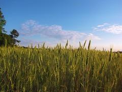Waves of Grain (Gerry Dincher) Tags: tobermory northcarolina bladencounty ruralsouth tobermoryroad wavesofgrain wheatfield wheat farm sky blue gerrydincher