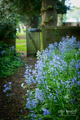 Day 127/365 - Garden path (phil wood photo) Tags: flowers bluebells garden path may 365 day127 project365 3652014 07052014