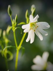 Wood  Anemone (davepickettphotographer) Tags: wood wild flower woodland countryside woods village olympus anemone cambridgeshire esystem em5 olympuscamera