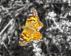 Butterfly (nadine3112) Tags: tiere highway1 schmetterling colorkey colorkeying