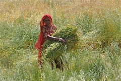 In a Field of Gold and Green (The Spirit of the World ( On and Off)) Tags: india countryside farm farming farmland fields crops local youngwoman rajasthan rememberthatmomentlevel1 rememberthatmomentlevel2 rememberthatmomentlevel3 fromjaipurtojodhpur womaninthefieldsofindia